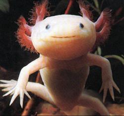 Mexican Salamander