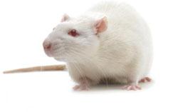 Rat Walks Again