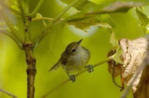seychelles-warbler